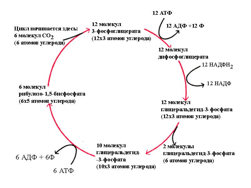 Цикл Кальвина
